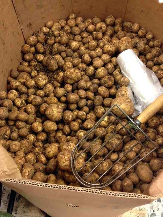 Fresh Swedish potatoes