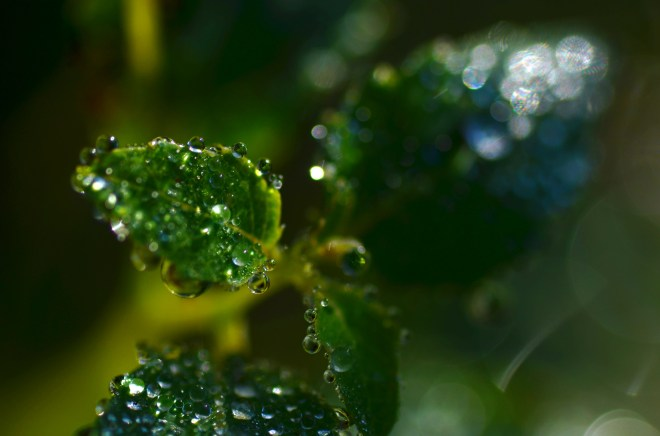 Dew on a Green Leaf