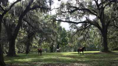spanish-moss-trees-four-horses