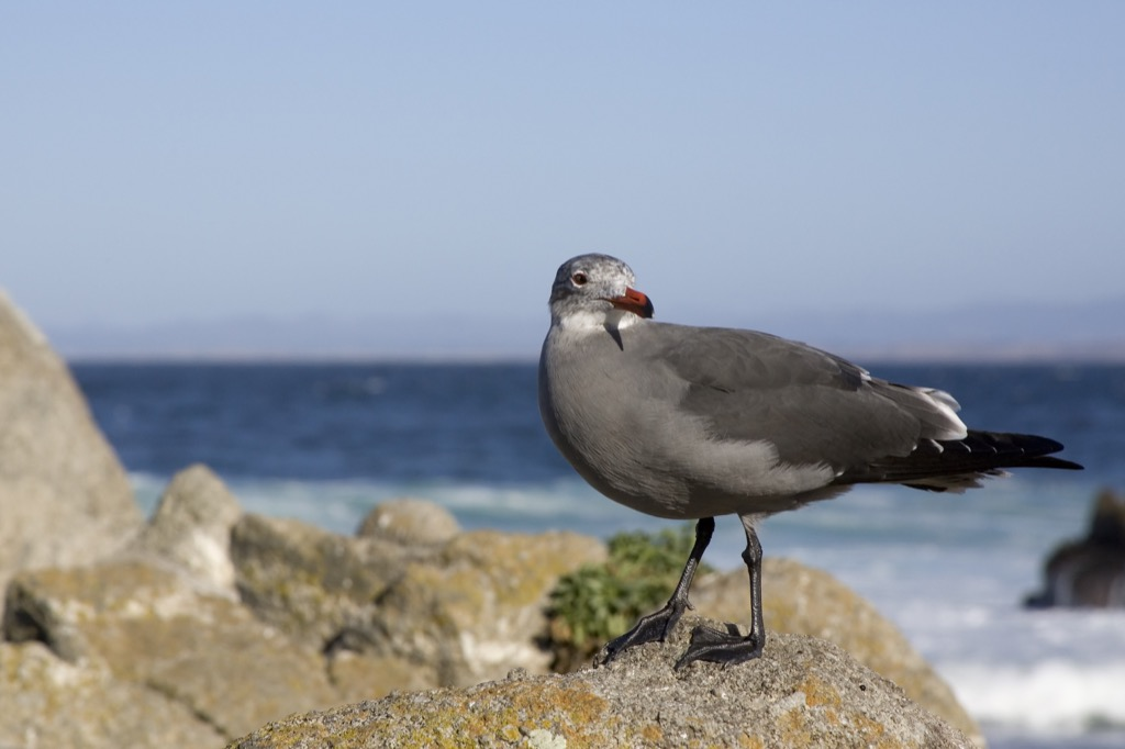 A Heermans Gull standing on rocks