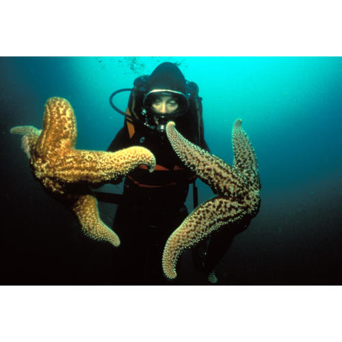 Erica Murray Holds Giant Seastar (Pisaster giganteus): The largest live on the offshore oil platforms of the Santa Barbara Channel, Platform Hilda (Decommissioned), 60 feet