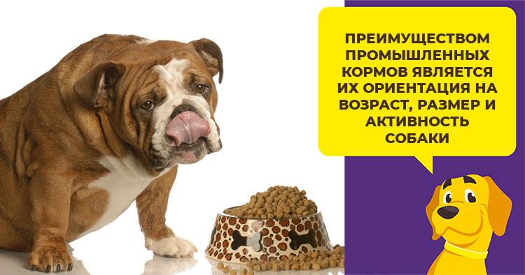 Кормление американского бульдога. Особенности выращивания щенка американского бульдога Дрессировка американского бульдога