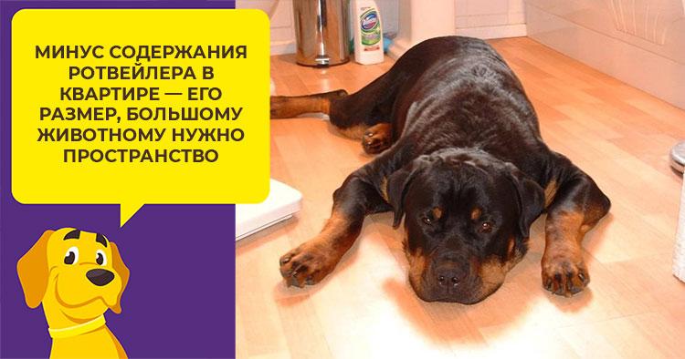 rottweiler pierde în greutate)
