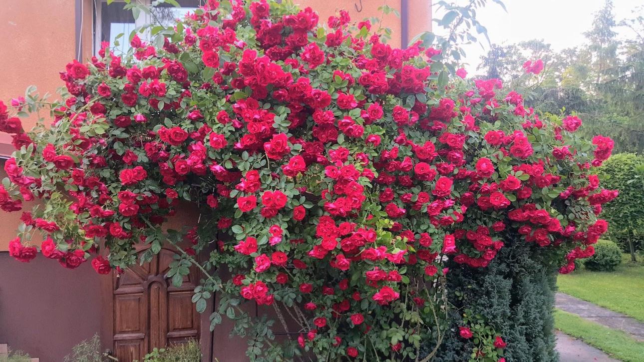 Tato - róże