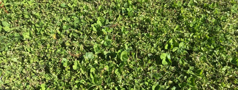 winter weeds in turf
