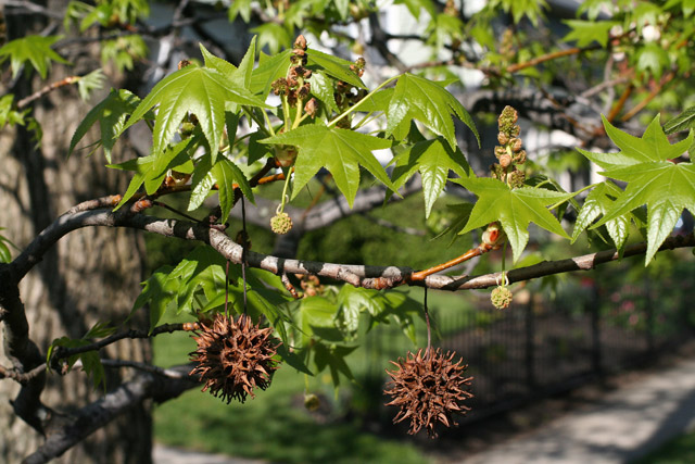 Image result for sweetgum tree