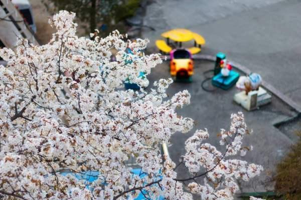 Cherry Blossoms at Yongma Land