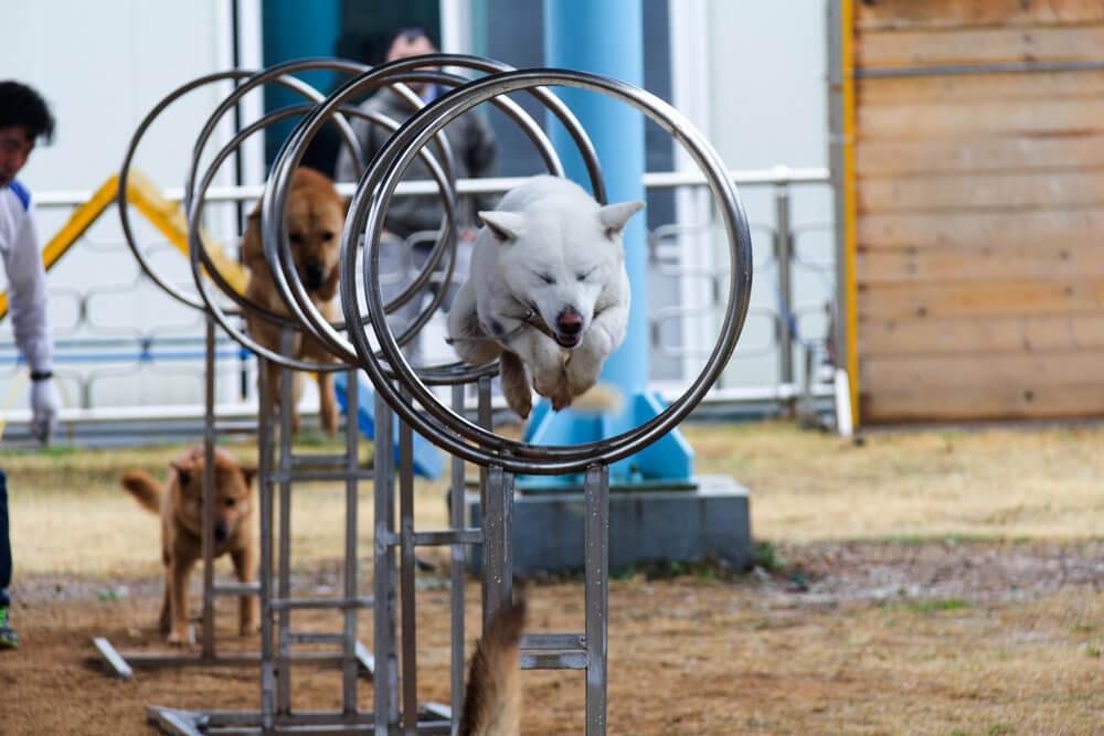 Jindo Dog Painting at the Jindo Dog Festival