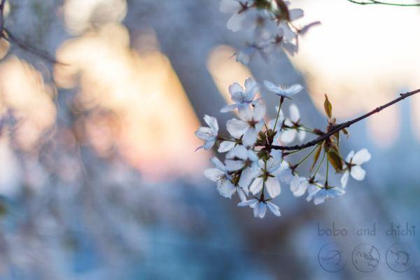 Blossoms VS. Yongma Land