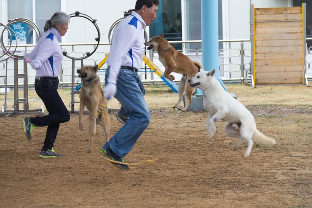 Jindo Dog Dancing
