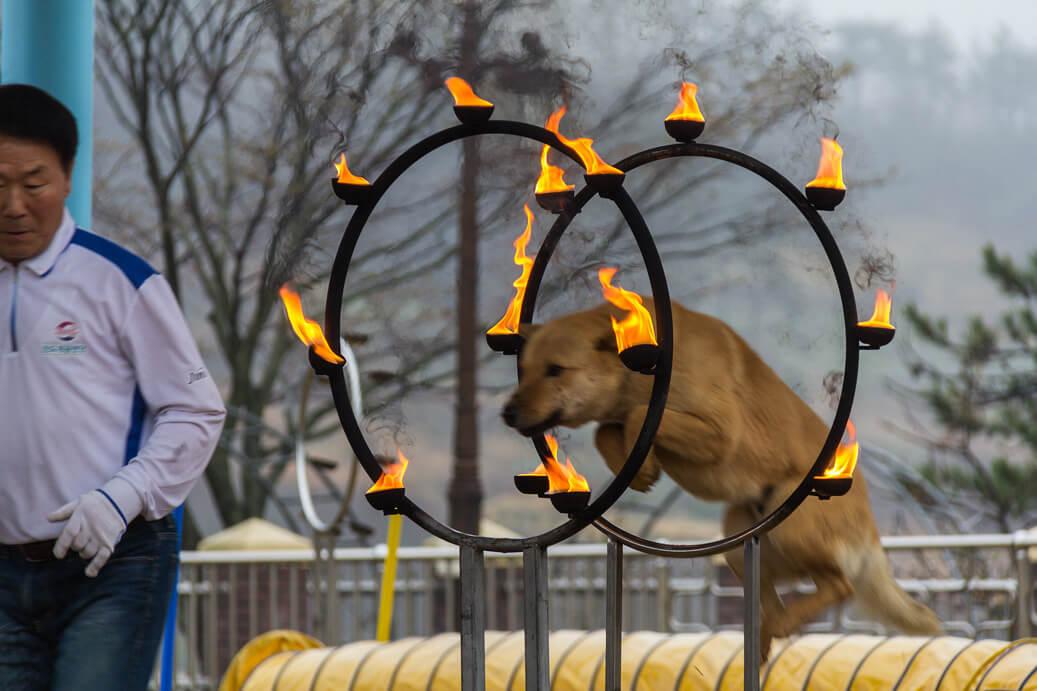Jindo Dog Jumps through Fire