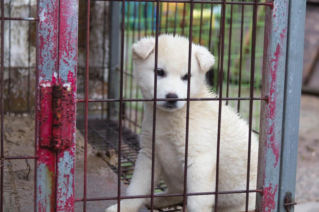 White Jindo Puppy
