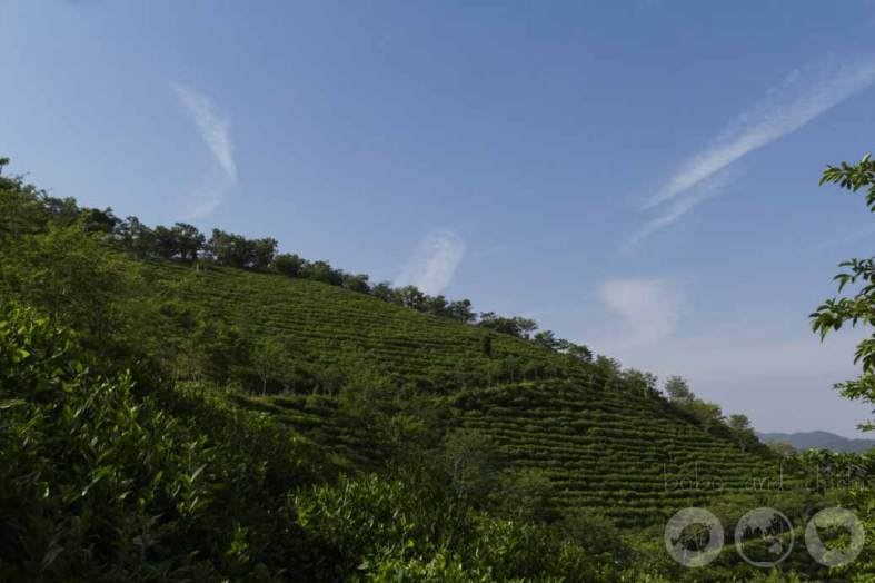Boseong Green Tea Plantation - Botjae