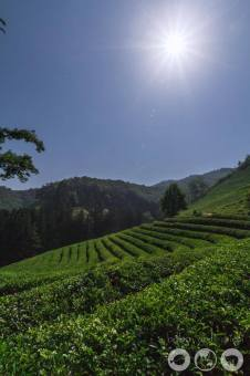 Daehan Dawon Tea Plantation