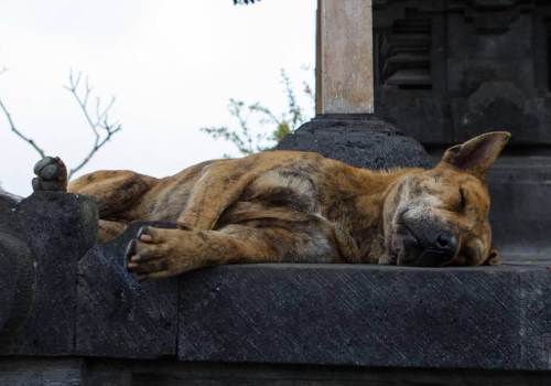 Dog-Sleeping-at-Temple