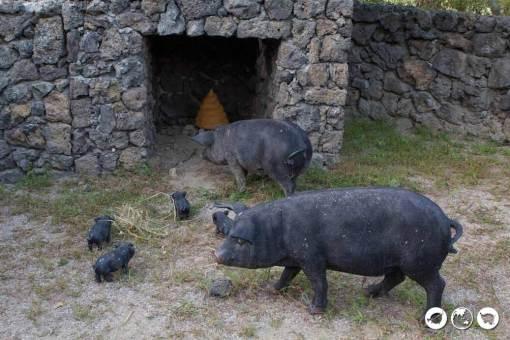 Jeju-Tongshi-Toilet-Piggies
