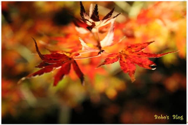 [關西-京都]Day1-3 越夜越美麗高台寺夜楓 。再冷也要賞楓去
