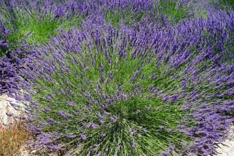 lavender-bush-1595574_640