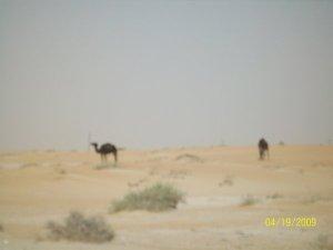 3734148-camels-feeding-0