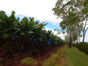 bananas-budgets-cyclones