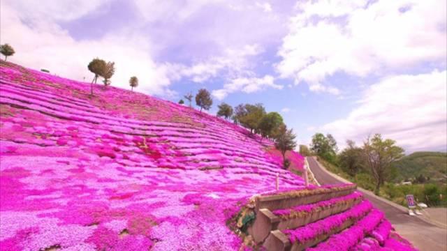 滝上町の芝桜