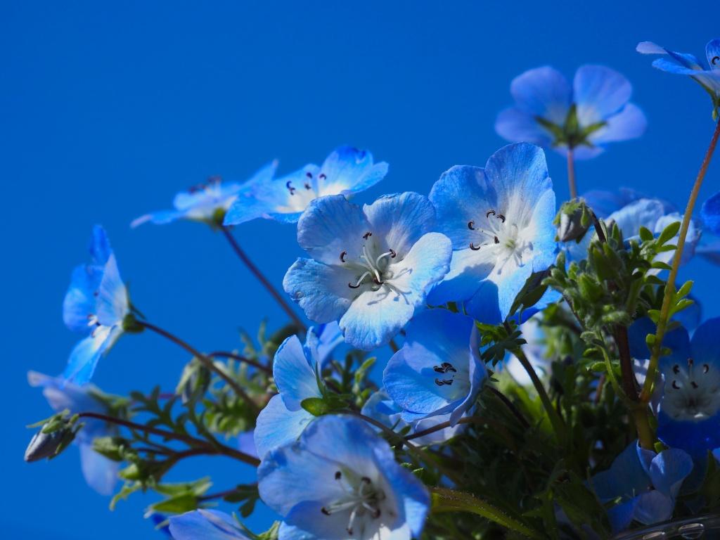ネモフェラブルー 空のブルー