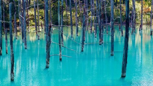 美瑛 白金青い池