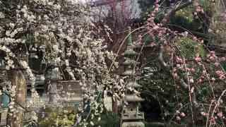 江ノ島の梅の見頃 常立寺
