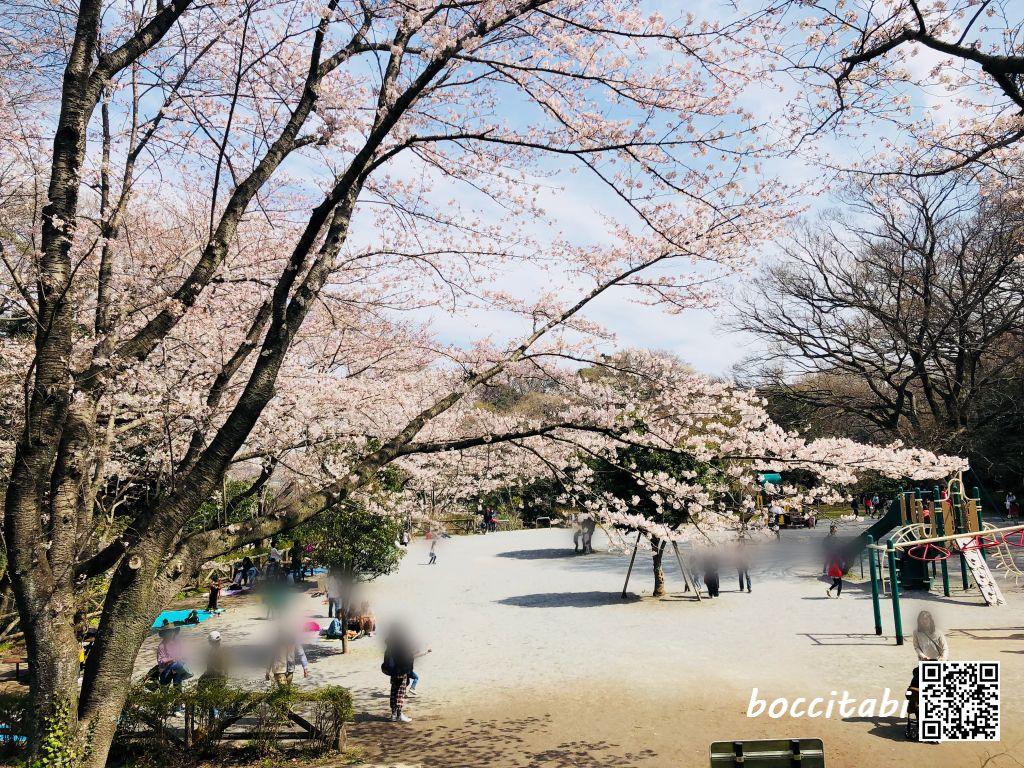 藤沢 新林公園 桜