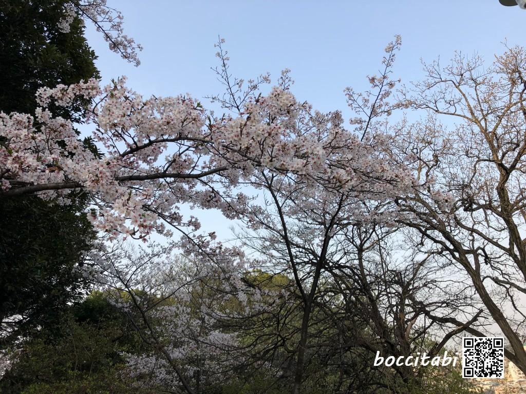 弘明寺公園の桜