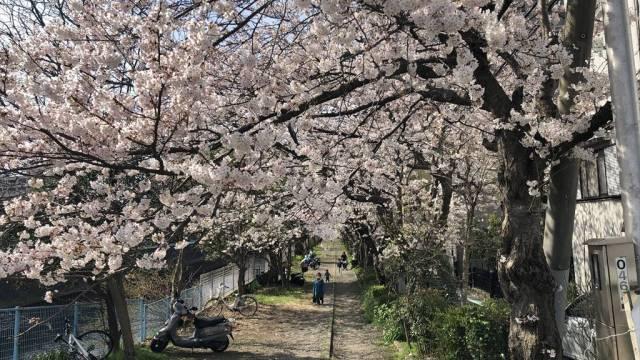藤沢境川沿いの桜並木