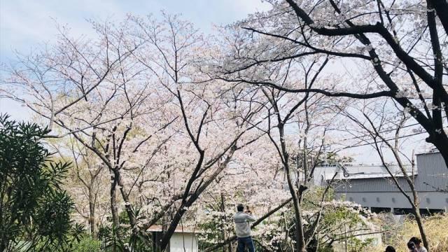 江ノ島片瀬山公園の桜