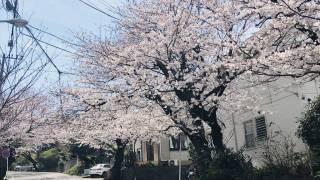 鎌倉山桜道の桜