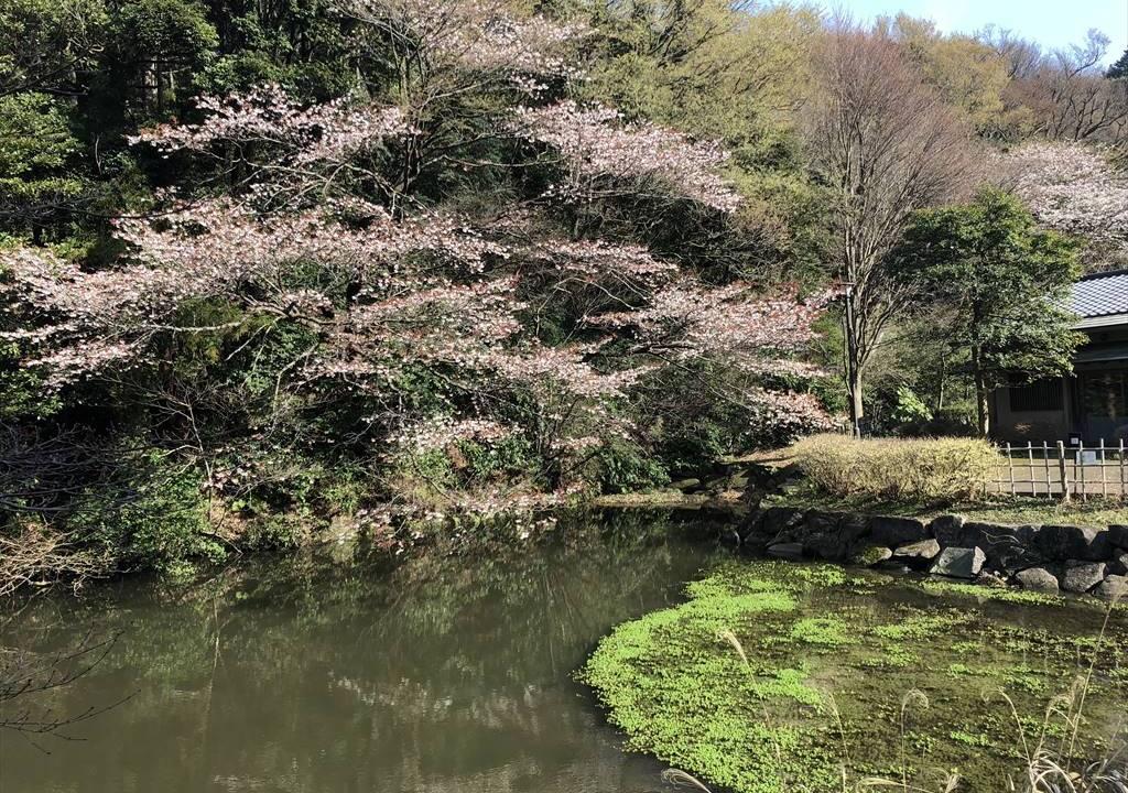 鎌倉中央公園の桜