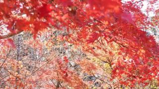 鎌倉の紅葉 葛原岡神社