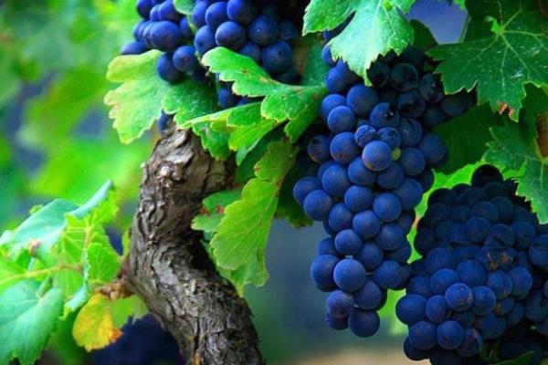 Popular Spanish Red Grape Varieties You Should Know About! (And be drinking)