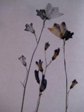 Blåklokke - Campanula Rotundifolia