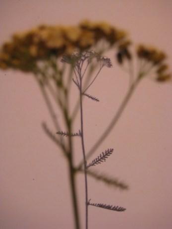 Ryllik - Achillea Millefolium