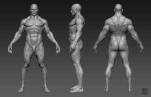 Male anatomy study.