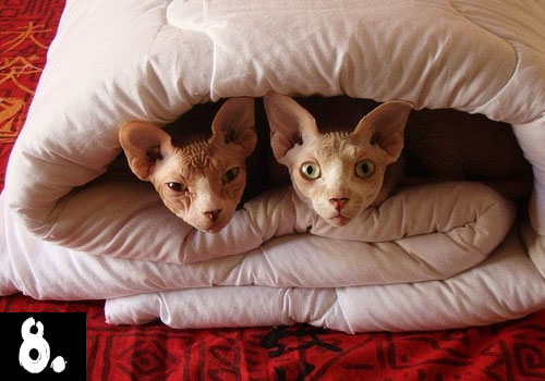 SPHYNX CAT TOP TEN CATS