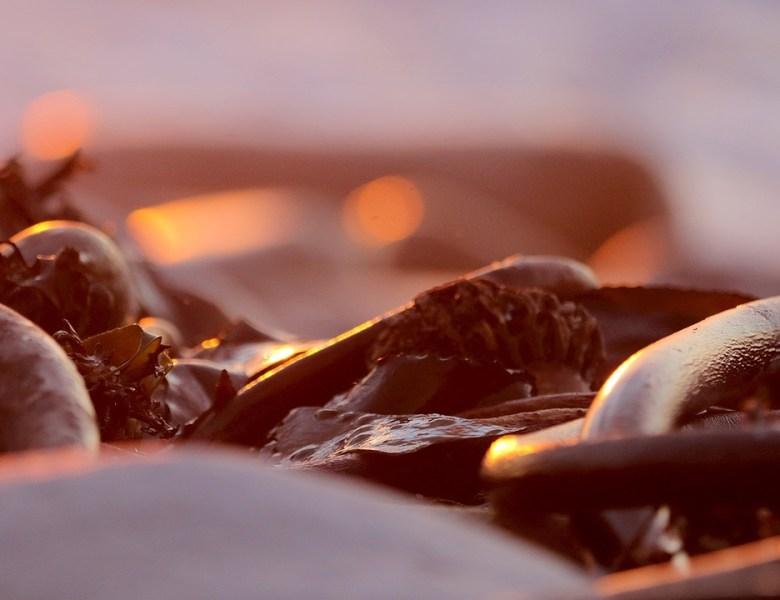 Dulse Rotalgen – das neue Superfood aus dem Atlantik