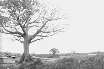 The Ceibo tree.
