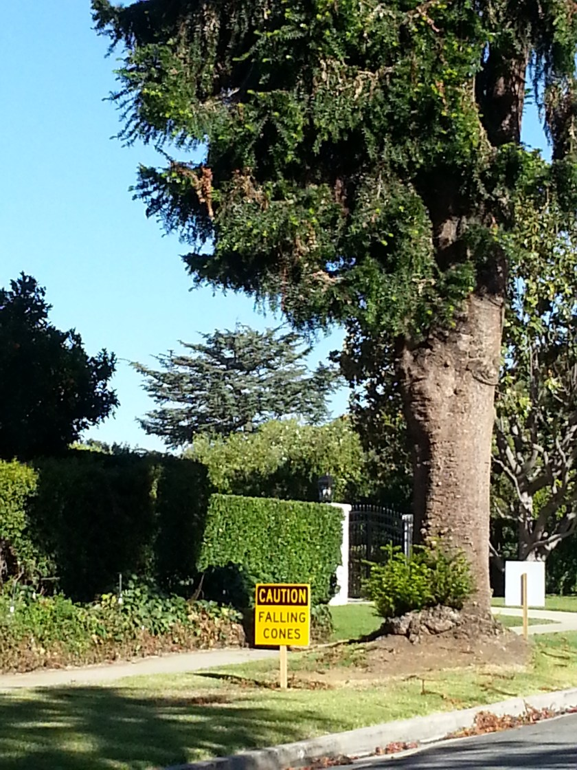"Photo of large pine tree with an inordinately large caution sign next to it stating ""Caution: Falling Cones."""