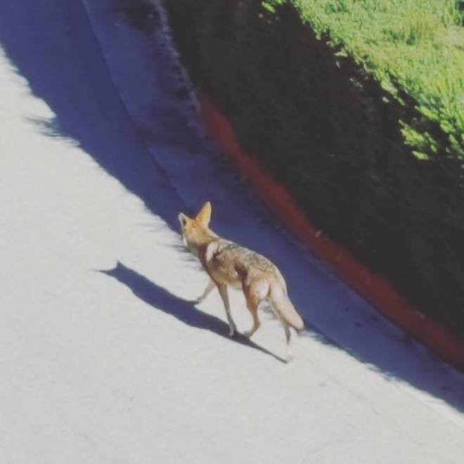 The neighborhood coyote is nothing if not punctual