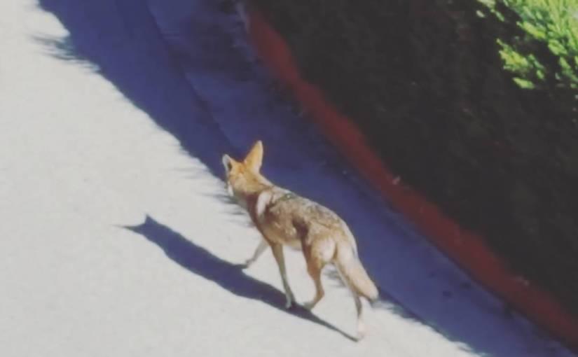 The neighborhood coyote is nothing if not punctual