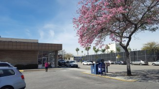The trees are in bloom outside the Chevy Chase Post Office