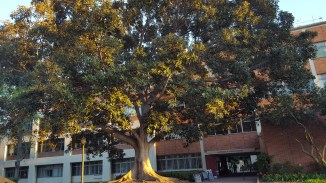 The tree outside UCLA Mathematical Sciences Building