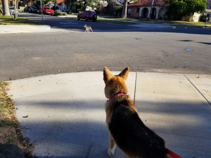 Lily barking at the local coyote who seems a bit over curious.
