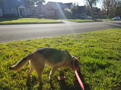 Lily hasn't yet noticed the coyote across the street.