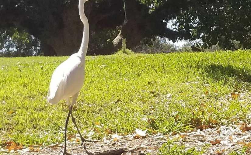 A bird that looks like an egret